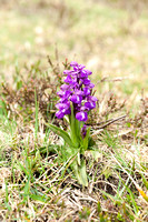 Anacamptis  morio, Green-veined Orchid, New Forest 4th May 2015