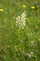 Platanthera chlorantha, Greater Butterfly Orchid. Martin Down June 12th 2015