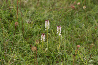 Neotinea ustulata, Burnt-tip Orchids, Martin Down June 12th 2015