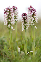 Neotinea, Burnt-tip Orchids