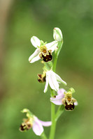 Ophrys apifera, Bee Orchid. Nursling, 5th July 2015