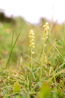 Herminium monorchis, Musk Orchid. Selborne 17th July 2015