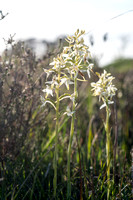 Platanthera, Butterfly Orchids