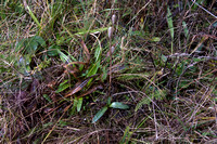 Ophrys apifera, Bee Orchid foliage January 2015