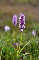 Gymnadenia borealis, heath fragrant orchid