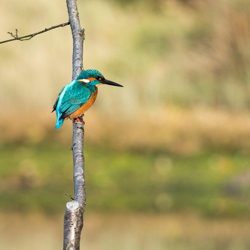 Alcedo atthis, Kingfisher