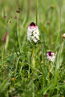 Neotinea ustulata, Burnt-tip Orchid, Wiltshire May 29th 2015