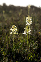 Platanthera bifolia, Lesser Butterfly Orchid. New Forest, June 10th 2015